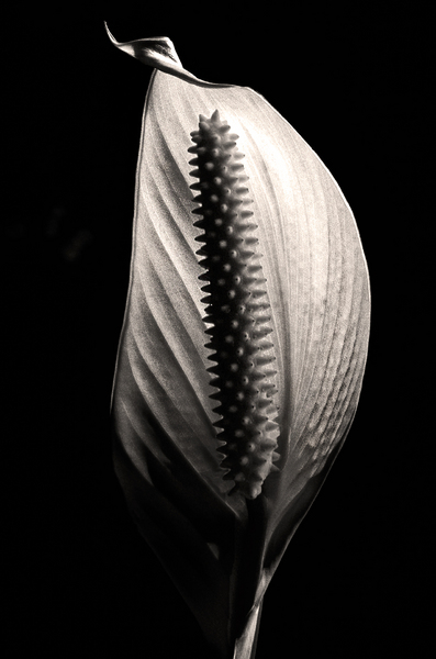 Peace Lily #2