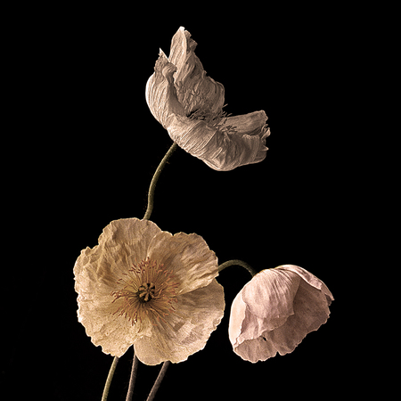Three Poppies #3